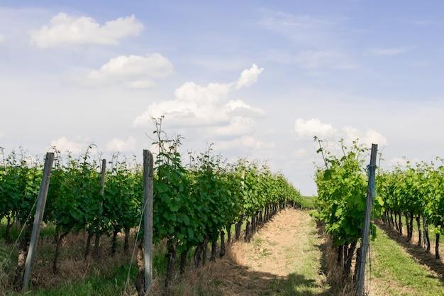 Wijnstokbomen met zonlandschap.