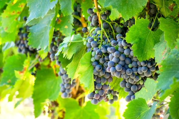 Wijnstokdruif in champagnewijngaarden in montagne de reims, frankrijk