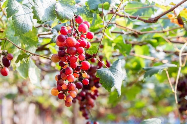 Wijnstokdruiven bij oogst
