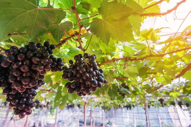 Wijnstokken druiven bij de oogst