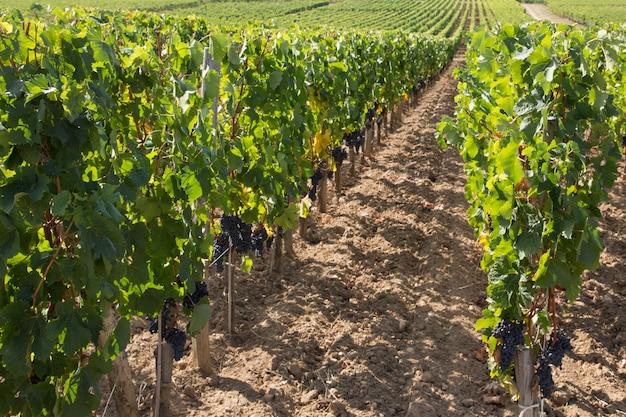 Wijnstokken wijngaarden wijnproducerende gebied in de buurt van bordeaux regio frankrijk