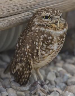 Wijze burrowing owl staande op de grond