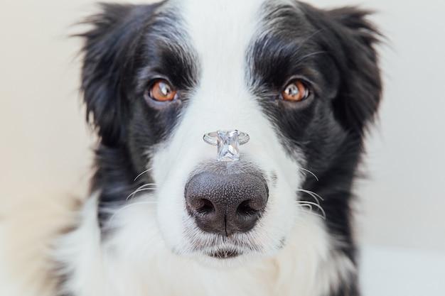 Wil je met me trouwen. grappig portret van schattige puppy hondje border collie trouwring te houden op neus geïsoleerd op een witte achtergrond. betrokkenheid, huwelijk, voorstelconcept