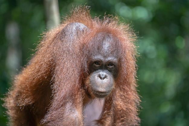 Wild bedreigde orang-oetan in het regenwoud van eiland borneo, maleisië, close-up. orang-oetan-mounkey in de natuur