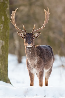 Wild damherten, dama dama, mannetje dat zich in sneeuw bevindt.