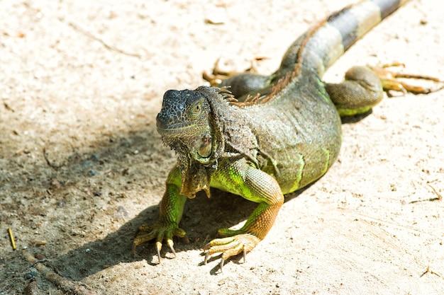 Wild dier in natuurlijke omgeving save biodiversiteit concept luie hagedis ontspannen zonnige dag