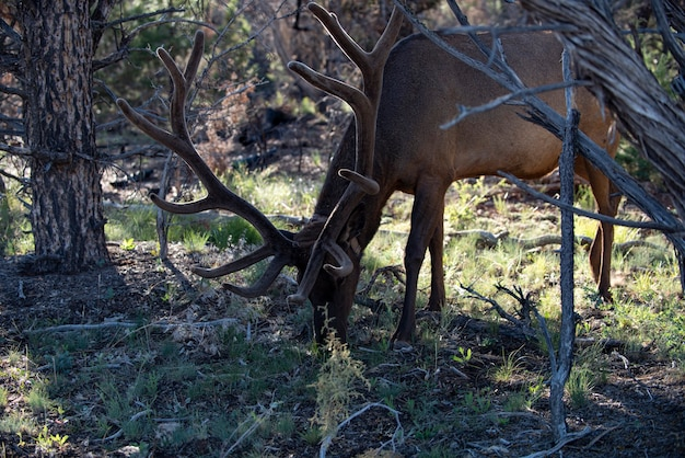 Wild dier witstaarthert fawn. reeën, capreolus. mooie wildbok.