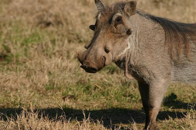 Wild gemeenschappelijk wrattenzwijn op de grond in de dierentuin