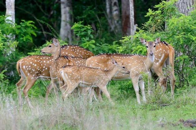 Wild gevlekte herten in yala national park