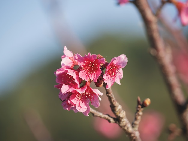 Wild himalayan cherry-bloem (prunus cerasoides), close-up van wild himalayan cherry (prunus cerasoides)