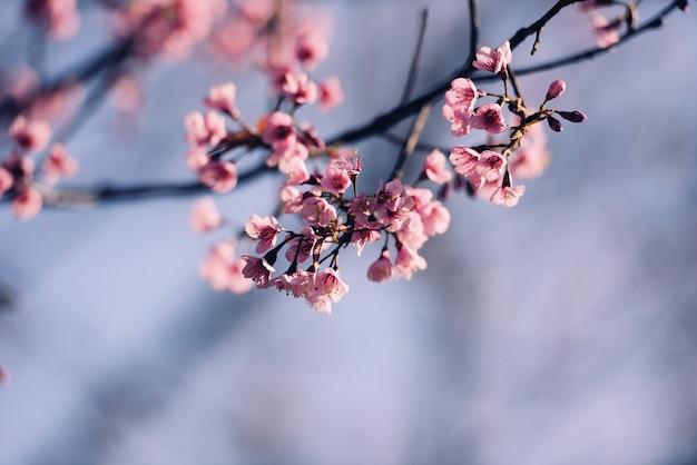 Wild himalayan cherry blossom, mooie roze sakura bloem op winterlandschap