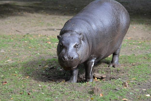 Wild kijken naar een pygmee nijlpaard in het wild.