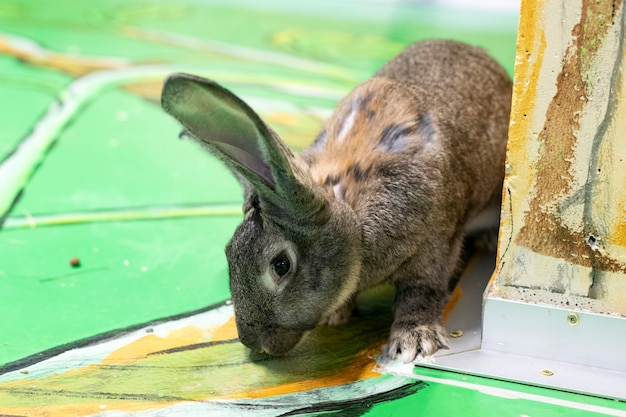 Wild konijn met grote oren. het konijn kijkt uit achter de muur. herbivoren. haas