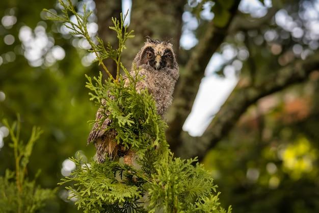 Wild longeared owlet asio otus portrait een vogel nat na de regen
