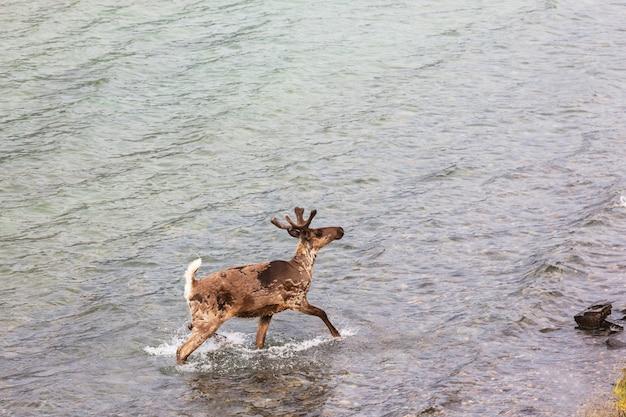 Wild rendier in het zomerseizoen
