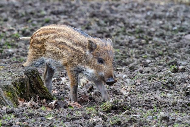 Wild zwijn baby loopt in de modder