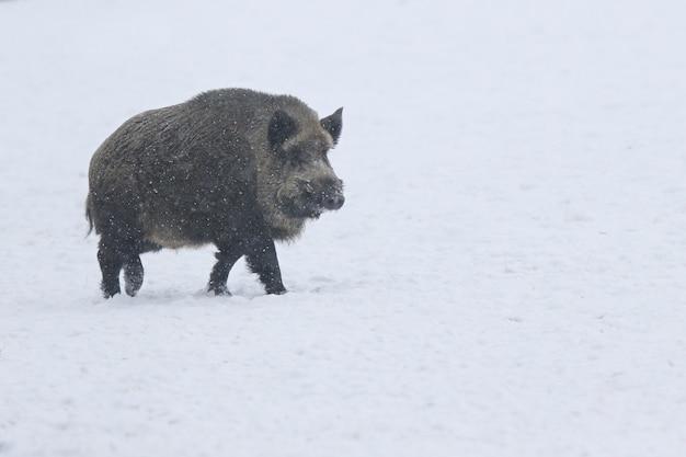 Wild zwijn in de natuur habitat. europees wild zwijn. sus scrofa.