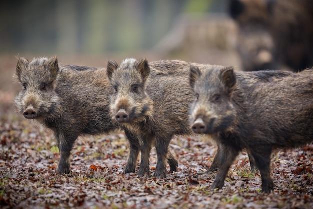 Wild zwijn in de natuur habitat gevaarlijk dier in het bos tsjechische republiek natuur sus scrofa