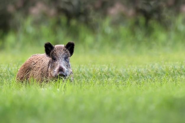 Wild zwijn in het gras, in het wild