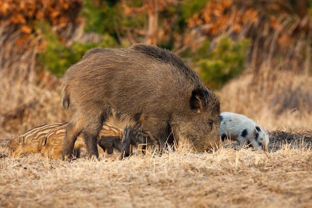 Wild zwijn moeder met biggen voeden op veld in het voorjaar