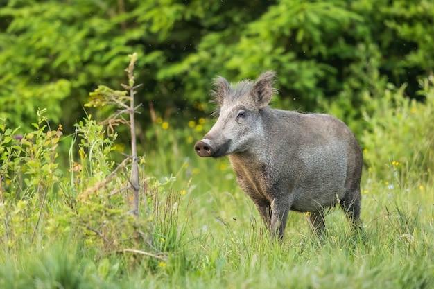 Wild zwijn snuffelt met zijn snuit op een groene weide met groen gras