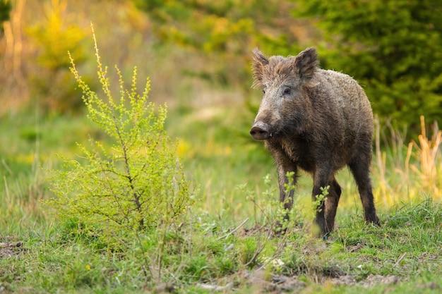 Wild zwijn staande op een weide met groene struik in de lente natuur