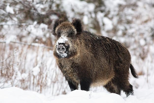 Wild zwijn, sus scrofa, staande op de weide in de natuur van de winter