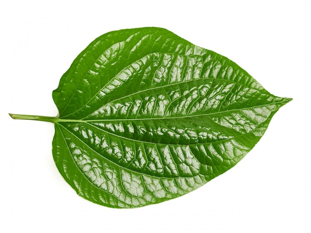 Wildbetal leafbush heeft veel medicinale eigenschappen