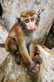 Wilde aap op sigiriya, sri lanka
