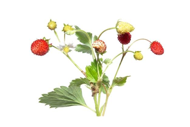 Wilde aardbeien geïsoleerd op de witte achtergrond