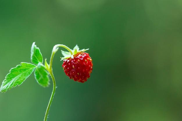 Wilde aardbeistruik in bos. rode aardbeien berry en witte bloemen in wilde weide, close-up