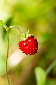 Wilde aardbeistruik in bos. rode aardbeienbes en witte bloemen in wilde weide
