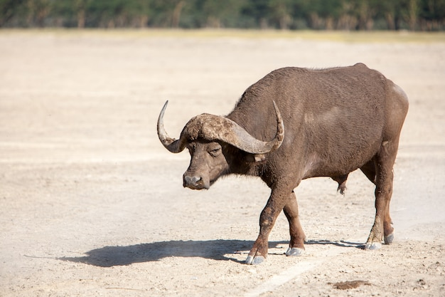 Wilde afrikaanse buffel. kenia, afrika