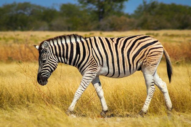 Wilde afrikaanse dieren. afrikaanse mountain zebra staande in grasland. etosha nationaal park. namibië