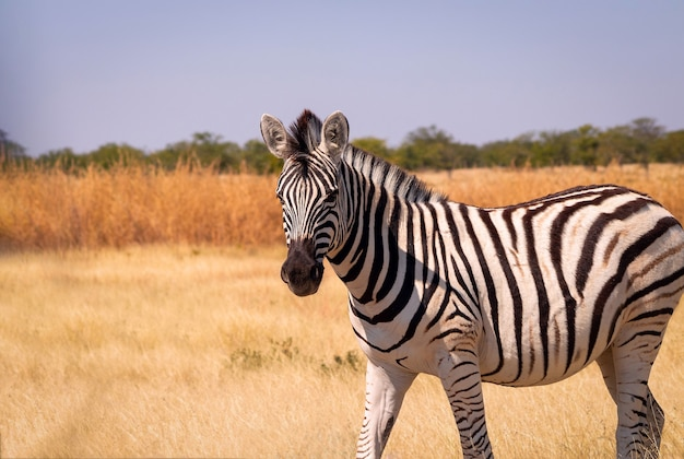 Wilde afrikaanse dieren. afrikaanse mountain zebra staande in grasland. etosha nationaal park. namibië Premium Foto