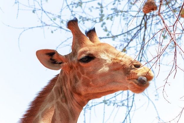 Wilde afrikaanse dieren. closeup namibische giraf op blauwe hemelachtergrond
