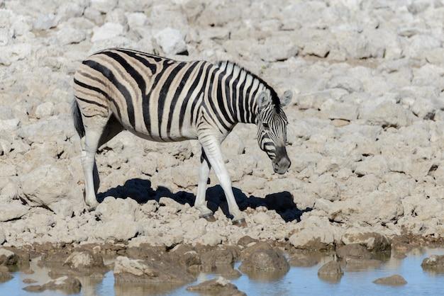 Wilde afrikaanse dieren -gnu, kudu, orix, springbok, zebra's drinkwater in waterhole