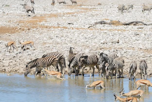 Wilde afrikaanse dieren -gnu, kudu, orix, springbok, zebra's drinkwater in waterput