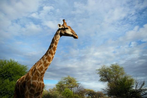 Wilde afrikaanse leven. een grote gemeenschappelijke zuid-afrikaanse giraf op de zomer blauwe hemel. namibië