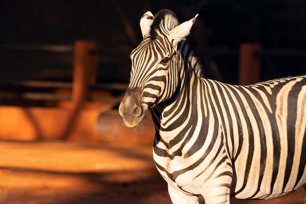 Wilde afrikaanse leven. mooie beelden van afrikaanse zebra's in het nationale park. namibië, afrika
