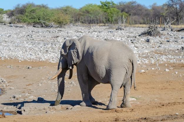 Wilde afrikaanse olifant die in de savanne loopt