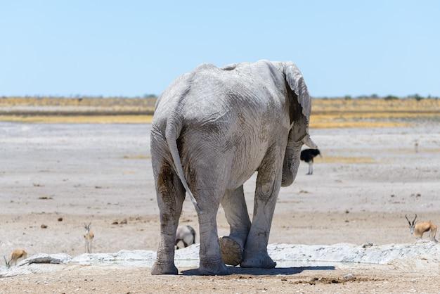 Wilde afrikaanse olifant op de waterput in de savanne