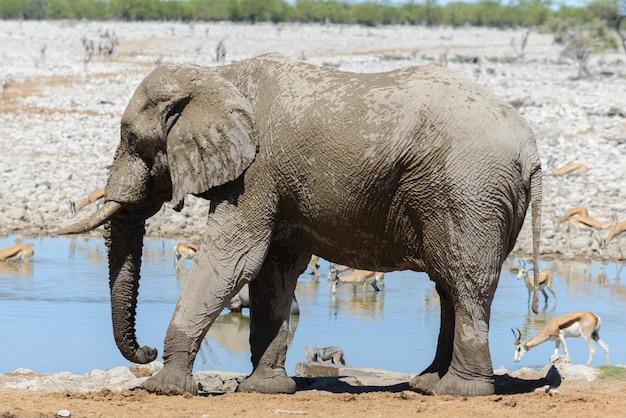 Wilde afrikaanse olifant op waterhole in de savanne