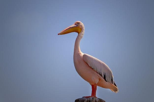 Wilde afrikaanse vogels close-up. een grote roze namibische pelikaanvogel tegen een helderblauwe lucht