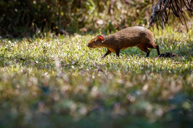 Wilde agouti close-up in de natuur habitat
