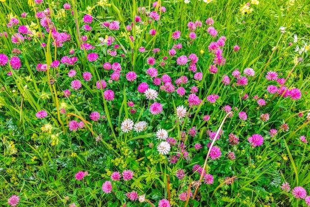 Wilde alpenbloemen in de wei