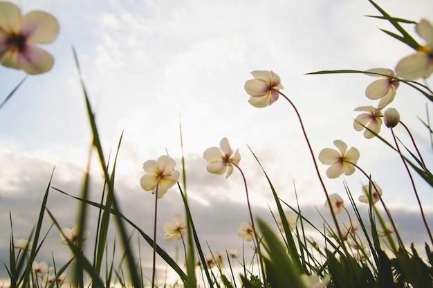 Wilde anemoon bloemen in het veld.
