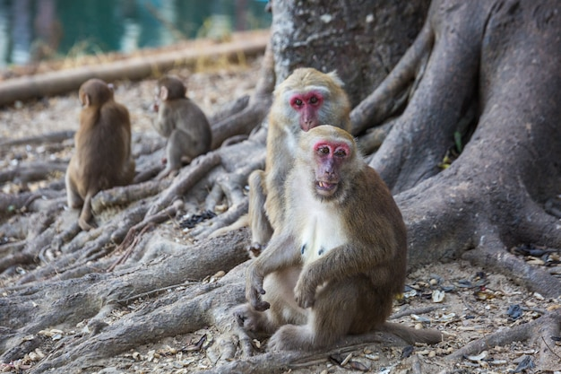 Wilde apen, bavianen in thailand