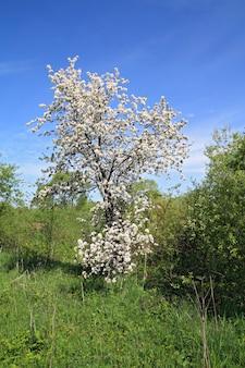 Wilde aple boom