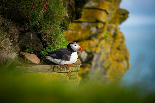 Wilde atlantische papegaaiduikerzeevogel in de alkfamilie.